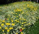 wildflower meadow, St James Park, London