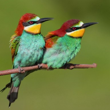 European bee-eaters (Naturetrek)