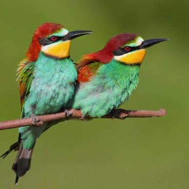 European bee-eaters (Naturetrek)