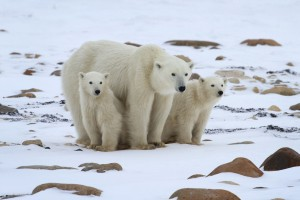 Polar Bears (c) Natural Habitat Adventures