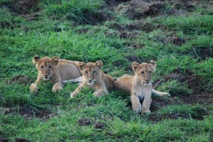 Lion cubs in South Africa (c) James Bailey