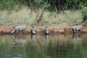 Warthogs in South Africa (c) James Bailey