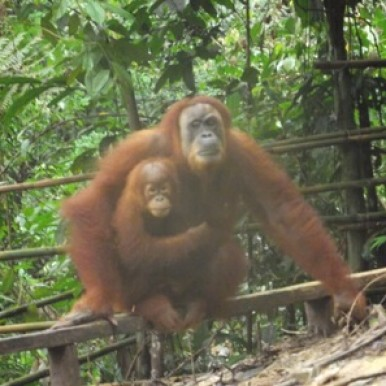 mother and baby orangutan