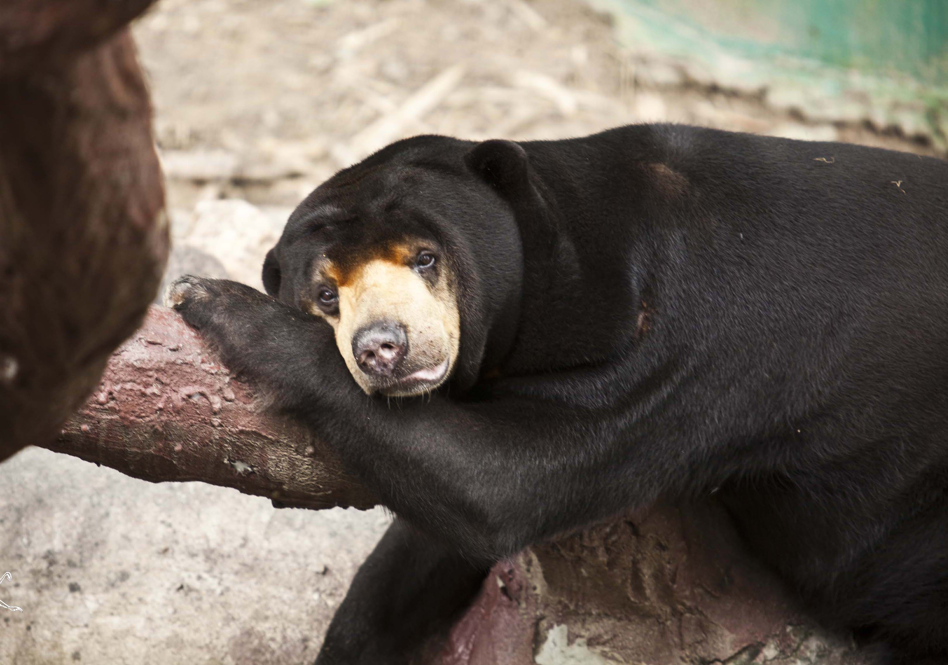 Meet the sun bears of the Wildlife Rescue Project, Thailand