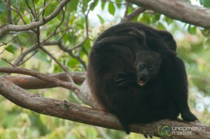Howler monkeys at Morgans Rock, pic by uncorneredmarket.com