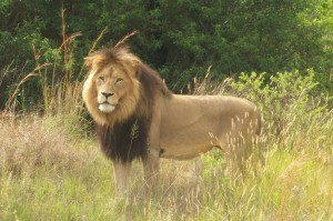 Male lion (PoD Volunteer)