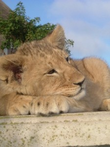 lion cub (PoD Volunteer)