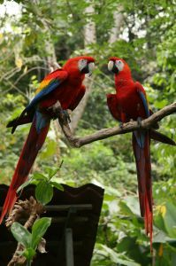 Macaws at Lapa Rios, Costa Rica