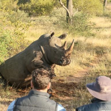 Rhino sitting