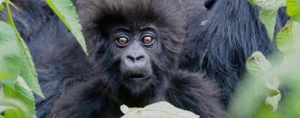 gorilla baby.jpg