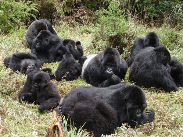 large gorilla group.jpg