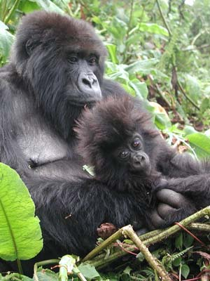 mother and baby gorillas