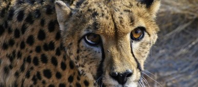 cheetah, Namibia (image courtesy of Estelle Clerc, Frontier volunteer)