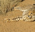 cheetah (image courtesy of Emma Kingston, Frontier volunteer)
