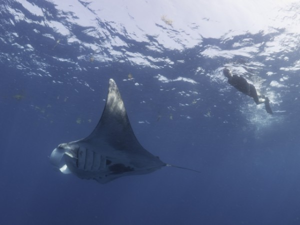 Swimming_with_Giant_Manta_Ray_(c)_Dr_Simon_Pierce_AQUA-FIRMA