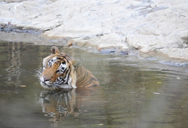 Tiger safaris in India (photo by Toby Sinclair)