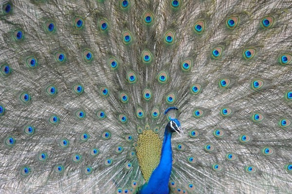 Spot peacocks in India (photo by Toby Sinclair)