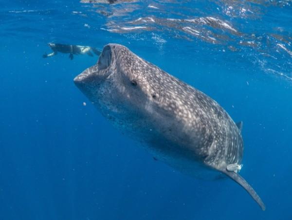 Whale-shark-eats-snorkeller-(c)-Dr-Simon-Pierce-AQUA-FIRMA