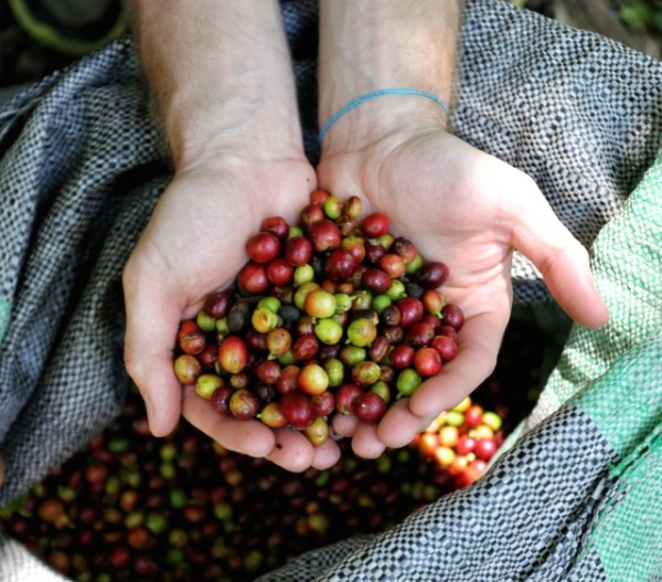 Harvested coffee beans near Cuzco, Peru (Pic by Harry Dowdney)