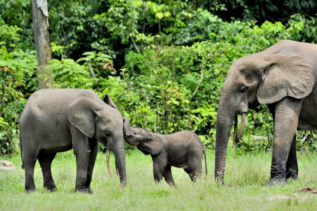 Forest elephants at risk from new palm oil developments in Africa