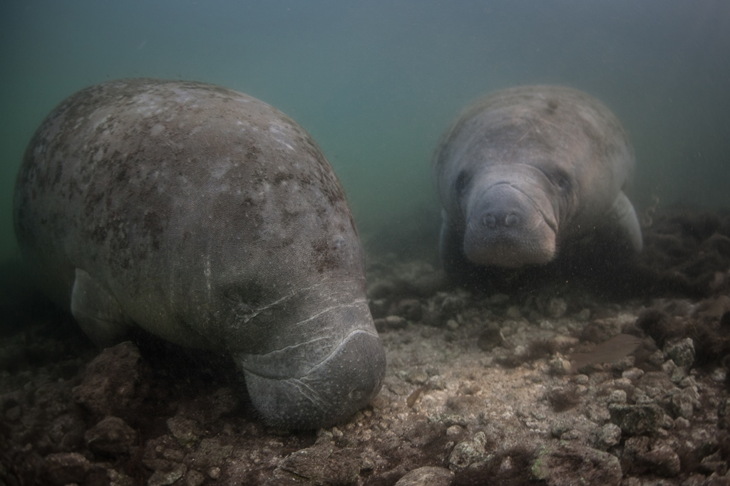 Manatees at risk from African palm oil production