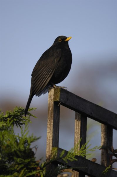 Blackbird, photo by Ray Kennedy (rspb-images.com)
