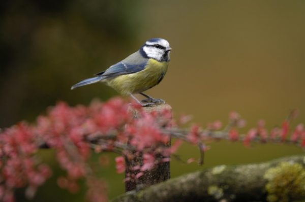 Blue tit, photo by Ray Kennedy (rspb-images.com)