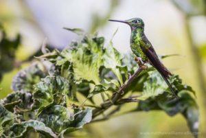 Hummingbird at Mashpi Lodge