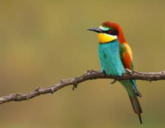 European bee-eater in Sicily