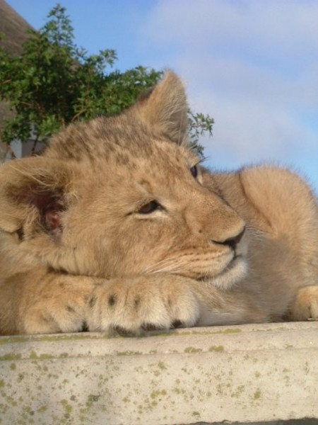 lion cub (PoD Volunteer)