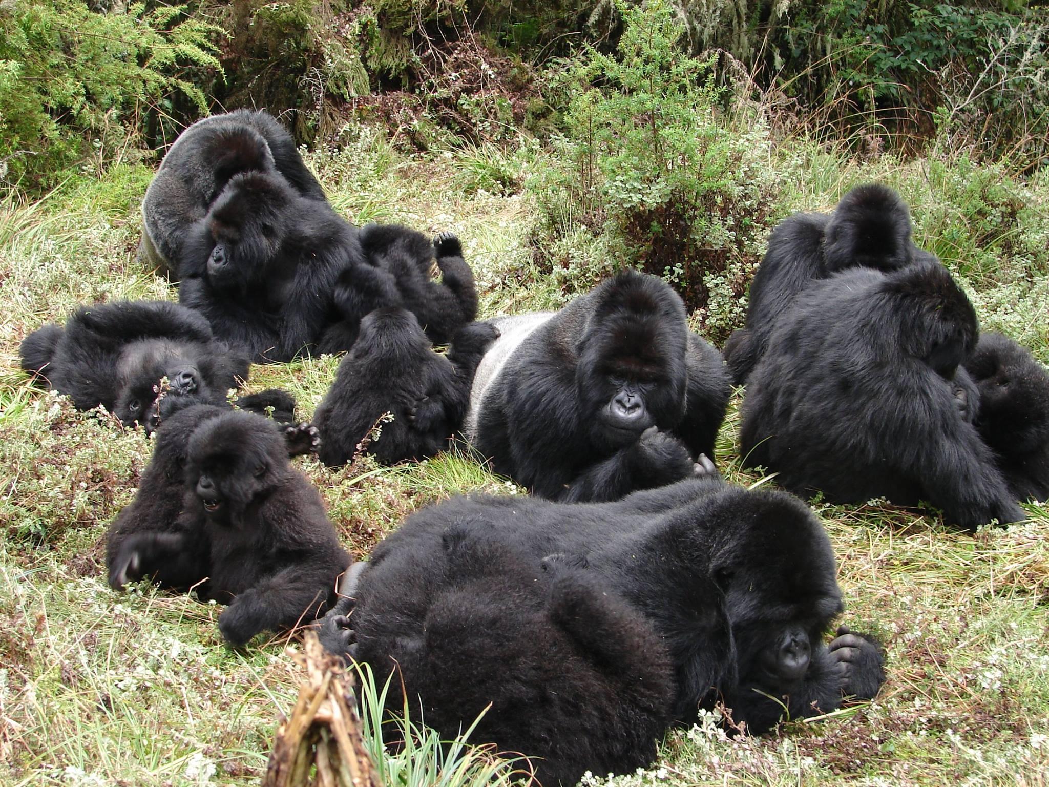 New wildlife film calls for action to protect Rwandan gorilla