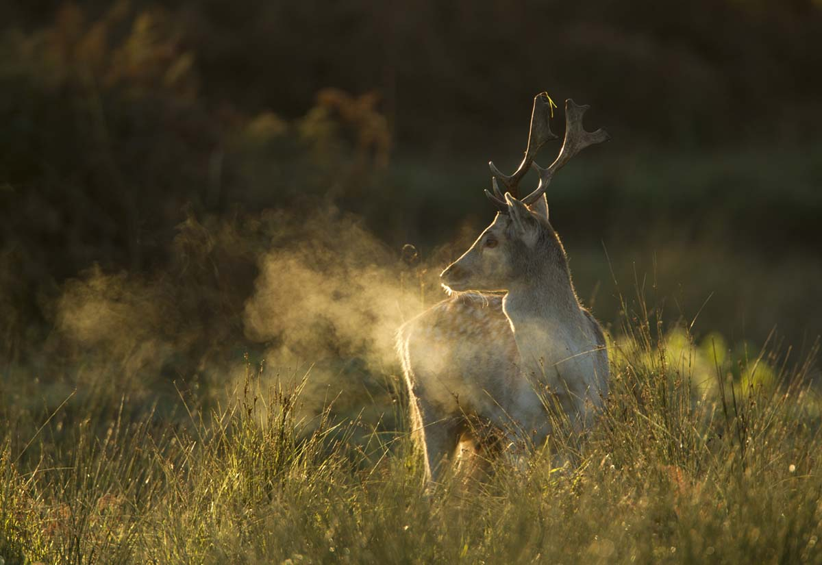 Fallow deer buck at dawn (c) Paul Hobson