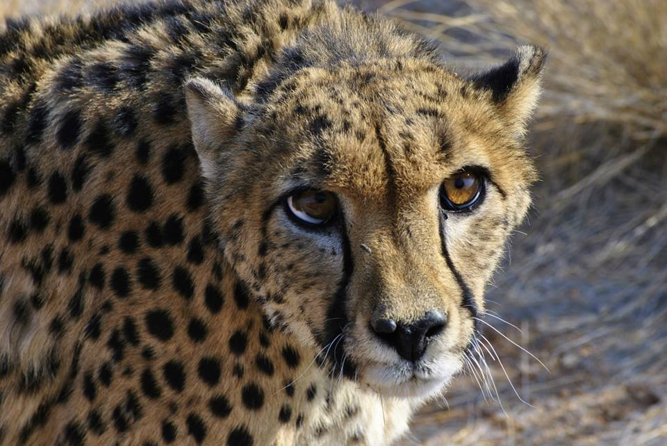 Experience big cat conservation in Namibia