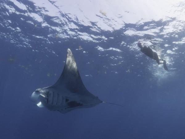 Swimming_with_Giant_Manta_Ray_(c)_Dr_Simon_Pierce_AQUA-FIRMA
