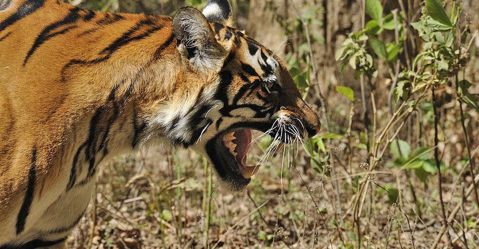 See the eye of the tiger on a responsible safari