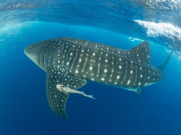 Whale_Shark_spot_pattern_(c)_Dr_Simon_Pierce_AQUA-FIRMA
