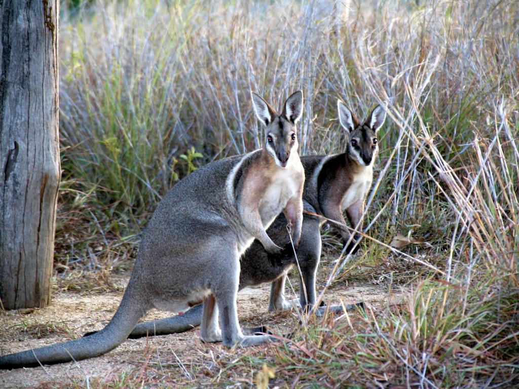 How to help rescued wallabies in Australia