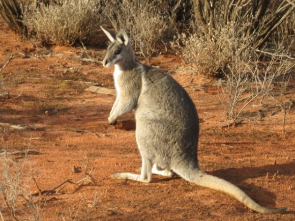Bridled Nailtail Wallaby, picture Phil Cole, Scotia National Park