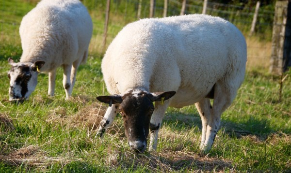 sheep at National Trust property Felbrigg Hall (photo by Erin Moncur)