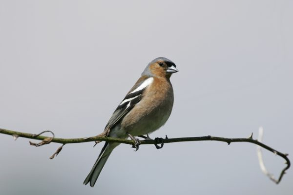 Chaffinch, photo by Andy Hay (rspb-images.com)